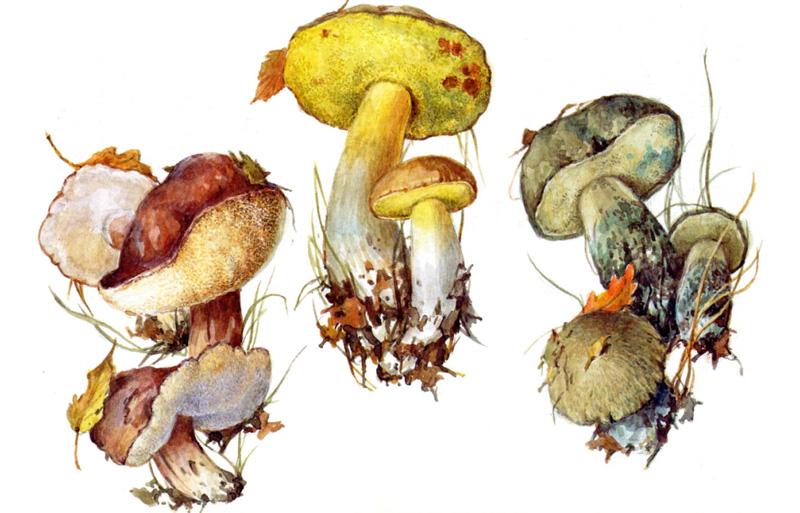 Каштановый гриб, Полубелый гриб, Синяк