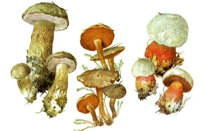 Желчный гриб (ложнобелый), Перечный гриб, Сатанинский гриб