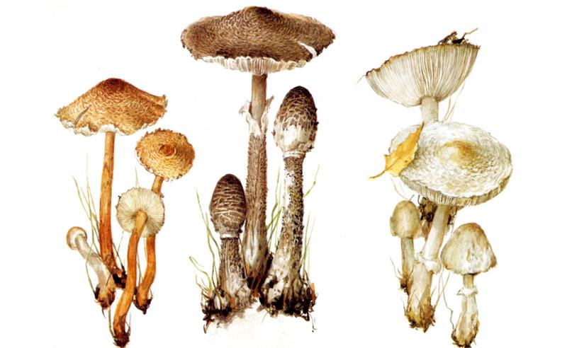 Гриб-зонтик краснеющий (лохматый), Гриб-зонтик пестрый (большой) , Гриб-зонтик белый (полевой)