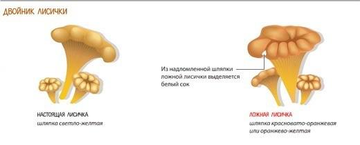 Как отличить ложные грибы двойники от