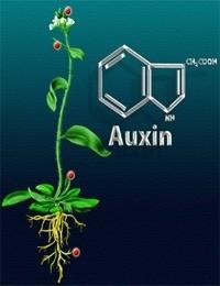 Ауксин - благодаря этим веществам грибы вырастают буквально за два-три дня