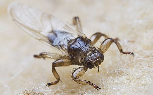 Оленья кровососка (Lipoptena cervi) — известный вид семейства Кровососки (лат. Hippoboscidae Samouelle, 1819)