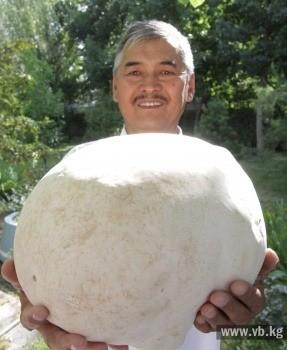 """""""Разве на такую красоту рука поднимется? Нужно же его всем показать! Конечно, долго храниться этот гриб не будет. Но ведь можно порезать его на дольки, как арбуз, и засушить!"""" - добавил удачливый грибник."""
