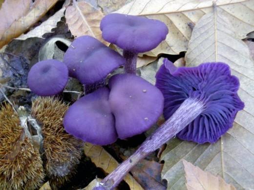 А вот гриб лаковица аметистовая (Laccaria amethystina (Huds.) Cooke, «Обманный аметист») поражает своим фиолетовым цветом. Но с возрастом фиолетовая окраска пропадает.