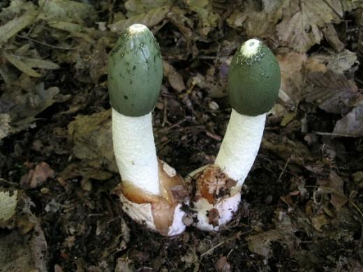 Веселка обыкновенная — Phallus impudicus L. — интереснейший гриб, полезность которого еще мало оценена. Споры этого гриба разносят насекомые, привлеченные специфическим запахом падали. Гриб может разлагать органику или образовывать микоризу с буком и дубом.