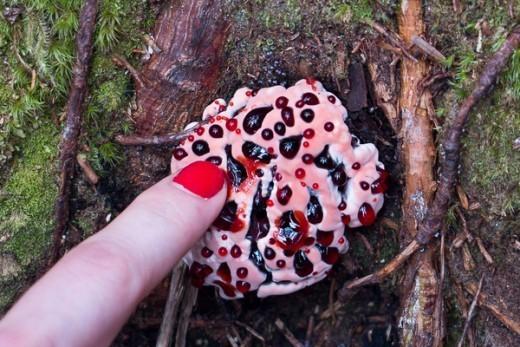 Немного страшноват «кровоточащий гриб» (Hydnellum peckii Banker), который в научной литературе именуется гиднеллумом Пека. А еще более устрашающе его другое название — «зуб дьявола».