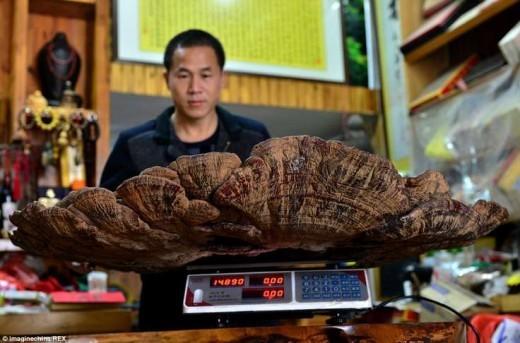 Китайцы измерили и взвесили удивительную находку. Диаметр круглого гриба составила 107 см, а вес оказался 75 кг.