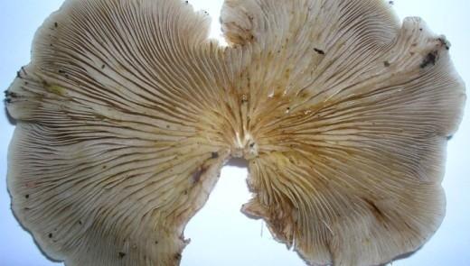 Так называемый устричный гриб (вёшенка обыкновенная) является хищным грибом. Он ловит и переваривает червей-нематод, таким образом насыщая организм азотом. Фото Rosser1954 Roger Griffith/Wikimedia Сommons).