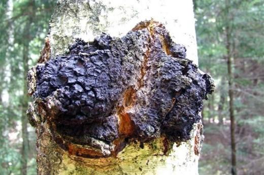 Чага. Другие названия - инонотус скошенный, черный березовый гриб, трутовик скошенный, косотрубчатый, косой.