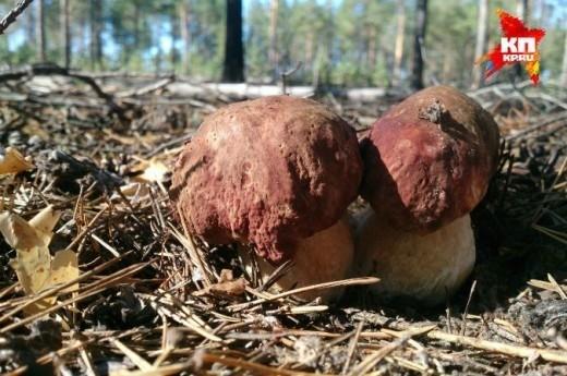 В районе Сыктывкара появились первые грибы. Теплая погода и обильные дожди этому способствовали.