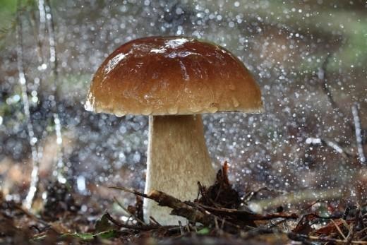 Говоря «как грибы после дождя», мы даже не сомневаемся в том, что именно осадки приносят удачу на «тихой охоте». Но все не так просто: по мнению биологов из Университета Майами, грибы сами могут вызвать ливень.