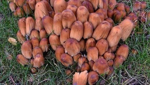 Это навозник — гриб, который растёт на остатках древесины. Эти грибы плодоносят всё лето и до поздней осени, когда у нас уже бывают заморозки.