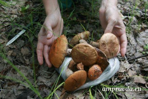 Сезон тихой охоты в Амурской области начался гораздо раньше срока: обычно первые грибы появляются в начале июля.