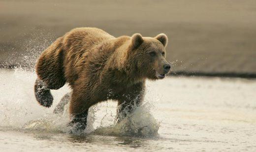 Даже очень упитанный зверь может развивать скорость до 60 км/ч.