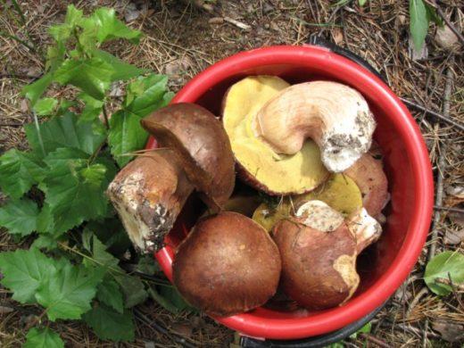 Все грибы Геннадий Шунаев делит на благородные и неблагородные. Он собирает белые грибы, опята, а волнушки, свинушки, лисички игнорирует.