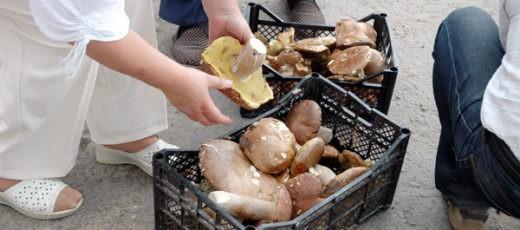 Обильные дожди, прошедшие в Нижегородской области, способствовали появлению грибов. И уже вдоль трасс можно видеть вездесущих бабушек с корзинами лесных даров на продажу.