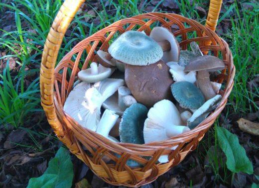 В этом году урожай грибов превышает прошлогодний вдвое. Например, в Яковлевском районе грибники за два часа похода собрали 9 ведер белых грибов вперемешку с обабками.