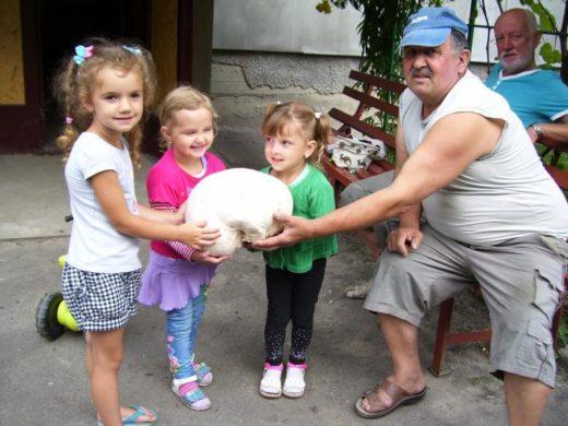 Во Владимире-Волынском (Украина) соседи заядлого грибника Андрея Шурука были шокированы, когда увидели его очередную «добычу» - гриб-дождевик весил 1,7 килограмма.