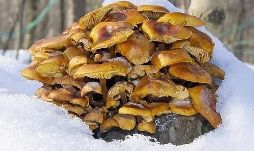 Зимние опята и другие грибы семейства рядовок очень вкусны в маринованном и жареном виде.