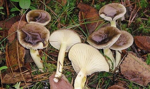 За гигрофорами можно отправляться в лес даже в декабре.
