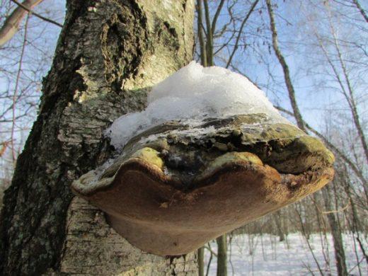 Трутовики можно встретить на старых пнях, сломанных деревьях, на брёвнах, оставшихся не вывезенными с делянок.