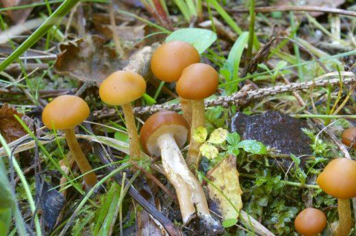 Галерина — дереворазрушающий гриб, растущий преимущественно на распадающейся хвойной древесине. Чрезвычайно ядовитая, она содержит те же смертельные аматоксины, что и в бледной поганке.