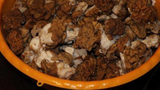 В брянских лесах уже появились первые весенние грибы – строчки и сморчки. Грибники возвращаются донельзя довольными из своих ежедневных походов, хотя это требует немало сил.