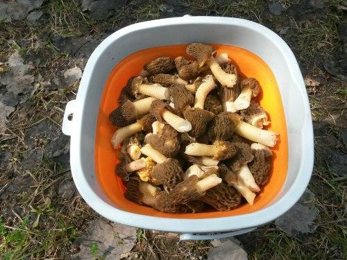 В Набережных Челнах начался грибной сезон – в окрестных лесах уже можно насобирать сморчков.