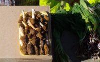 Первые грибы стали продавать в Новосибирске
