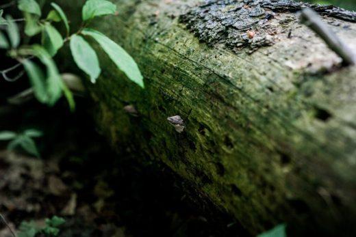 В Печерском лесопарке Могилева обнаружили редкий гриб — фомитопсис розовый, или розовый трутовик.