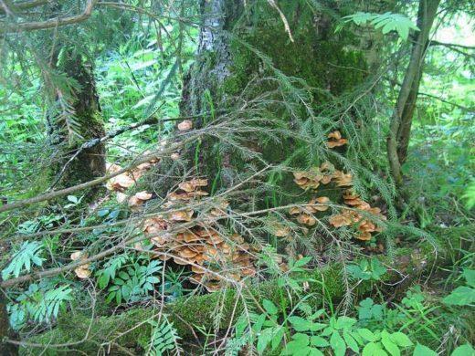 Во второй половине июня в Подмосковье установилась прохладная дождливая погода, в принципе благоприятная для роста в лесах съедобных грибов.