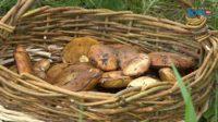 Шампиньоны, маслята и сыроежки собирают в лесах жители Южного Урала