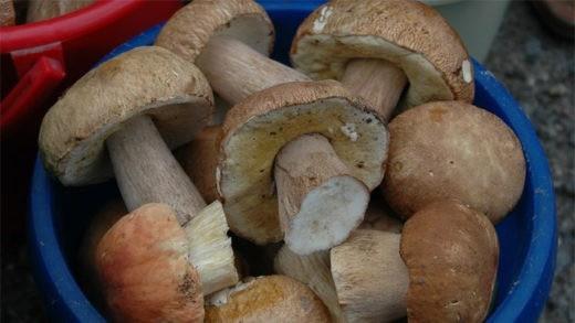 На Алтайский край буквально навалились грибы.