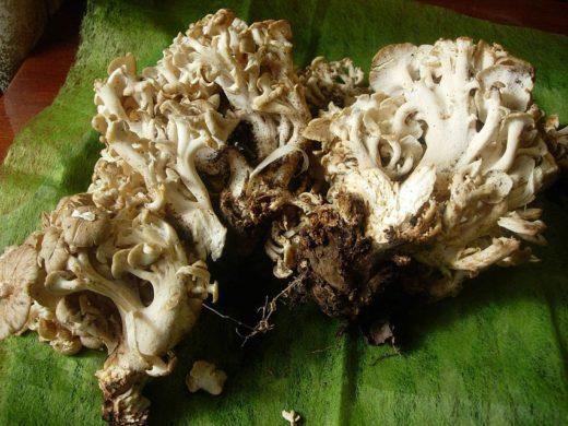 Гриб называется трутовик зонтичный (Polyporus umbellatus), в народе его зовут гриб-баран из-за неровных и волнистых краев шляпок, напоминающих шкуру барана