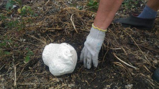 Большой гриб-дождевик буквально за день вырос во дворе у жителя Башкирии. Диаметр верхней части гриба достиг уже 15 сантиметров, сообщил сельчанин.