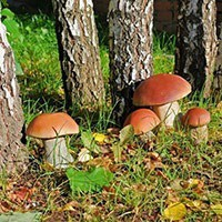Ртуть в белых грибах