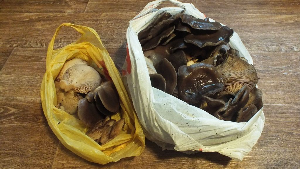 Воронежец под новый год собрал в лесу 5 кг грибов