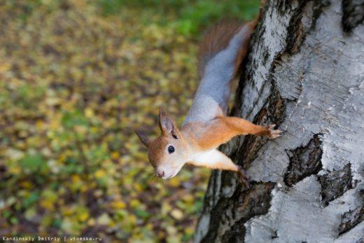 В Томской области из-за плохого урожая кедрового ореха эксперты отмечают перекочевку белок и соболей в неестественную среду в поисках еды.