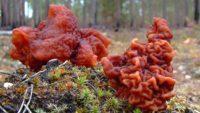 Сезон строчков в подмосковных лесах может продлиться ещё две недели