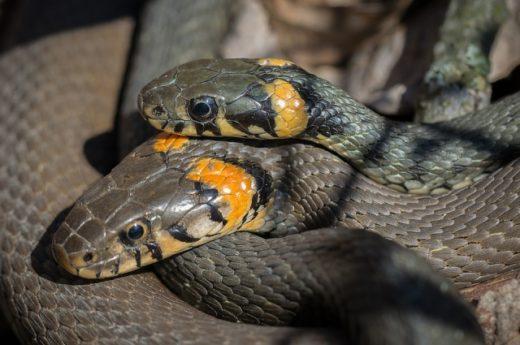 Главная отличительная черта ужа – пятна на голове. Они могут быть жёлтыми, оранжевыми, иногда белыми и располагаются по обеим сторонам.