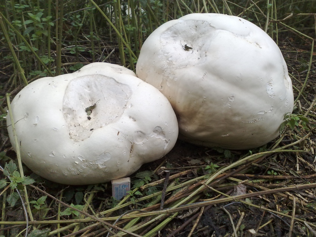 Один гриб был правильной шаровидной формы, достигал в диаметре 71 сантиметра, в высоту - 28 сантиметров, и весил почти 2 килограмма. Это был самый маленький дождевик.