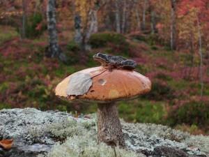Лягушка-грибушка