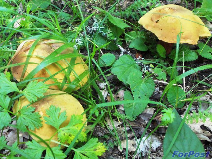 Сбор грибов в севастопольской зоне продолжается, несмотря на вернувшуюся после дождей жаркую погоду.