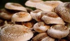 В Туапсинском районе свои первые шаги делают ЛПХ, которые решили выращивать тепличные грибы.