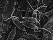 P. microspora является эндофитом - организмом, который может жить внутри или на поверхности тканей организмов-хозяев, не причиняя им вред