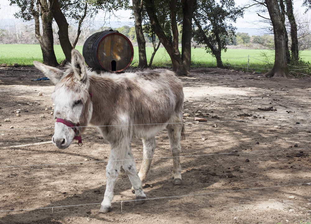 В Провансе трюфелями подкармливают даже осликов
