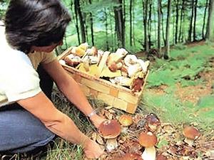 Белые грибы укрепят сердце, а грузди и лисички… повысят иммунитет