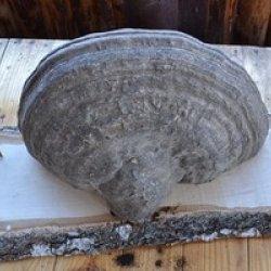 Оказывается, размер шляпок у таких грибов бывает от 10 до 40 см, а масса гриба может достигать 10 и более килограммов!