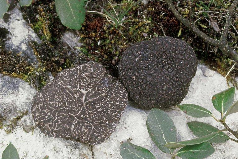 Самыми желанными остаются трюфели, особенно зимний (Tuber melanosporum) — король кухни.