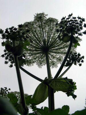 Оказывается, борщевик — ядовитое растение, которое было завезено в Латвию после войны еще в конце 40–х годов прошлого века как перспективный корм для скота.